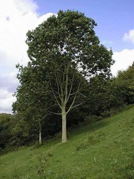 Деревья - наши целители 13ar-JAsen