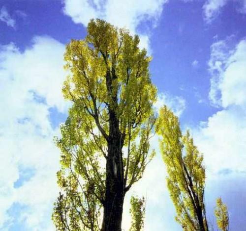 Деревья - наши целители 14ar-Topol