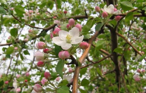 Деревья - наши целители 15ar-iablonia
