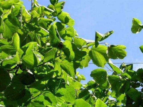 Деревья - наши целители 16ar-Oreshnik
