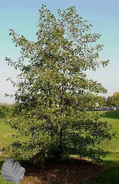 Деревья - наши целители 18ar-Olkha