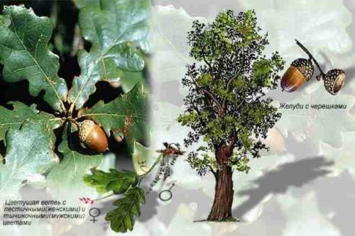 Деревья - наши целители 2ar-Dub