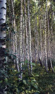 Деревья - наши целители 3ar-Berjoza