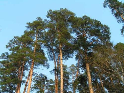 Деревья - наши целители 4ar-Sosna