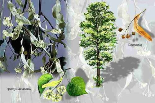 Деревья - наши целители 6ar-Lipa