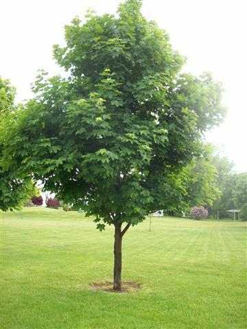 Деревья - наши целители 7ar-Kljon