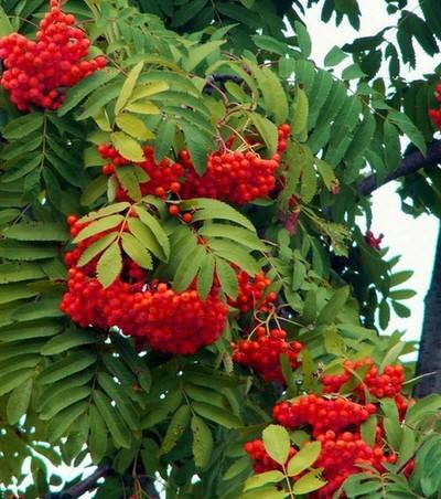 Деревья - наши целители 8ar-riabina