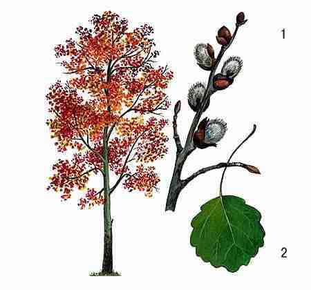 Деревья - наши целители 9ar-Osina